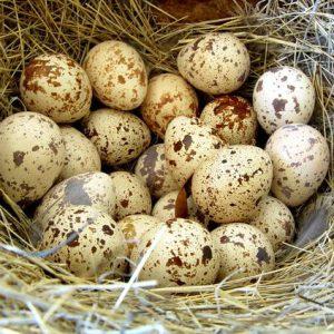 перепелиные яйца деревенские купить